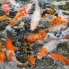 การจัดฮวงจุ้ยบ่อปลาหน้าบ้าน ให้มีแต่ความโชคดี