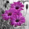 ดอกเดซี่สีม่วง