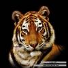 เสือ (รูปเล็ก)