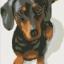 น้องหมาขี้อ้อน สุนัขพันธ์ดัชชุน (Dachshund) thumbnail 1